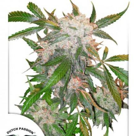 White Widow - feminizovaná semínka 5ks Dutch Passion