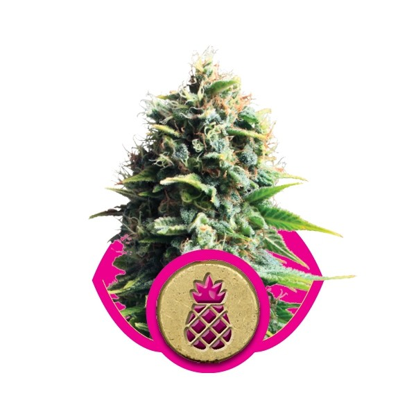 Pineapple Kush - feminizovaná semena 3 ks Royal Queen Seeds
