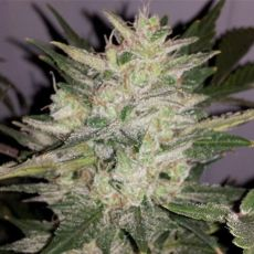 Fruit Cheese Auto - fem. a autoflowering semienka 6ks Natural Seeds