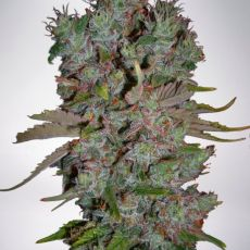 White Widow – feminizovaná semínka 5 ks Ministry of Cannabis