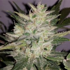 Fruit Cheese Auto - fem. a autoflowering semienka 12ks Natural Seeds