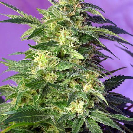 Killer Kush Auto - 10 ks samonakvétacích semínek Sweet Seeds
