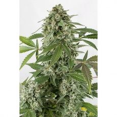White Widow autoflower – 3 semínka Dinafem