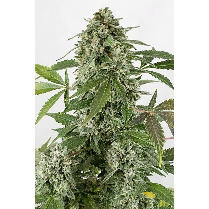 White Widow – 3 autoflower semienka Dinafem