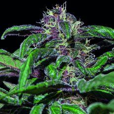 Ayahuasca Purple - feminizovaná semínka 3 ks Barney´s Farm