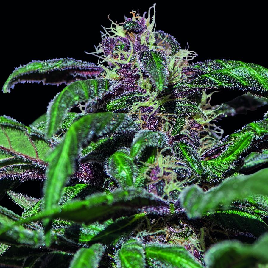 Ayahuasca Purple - feminizovaná semínka 10 ks Barney´s Farm