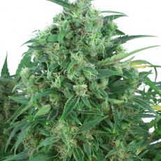 Think Different - autoflowering semienka 7 ks Dutch Passion