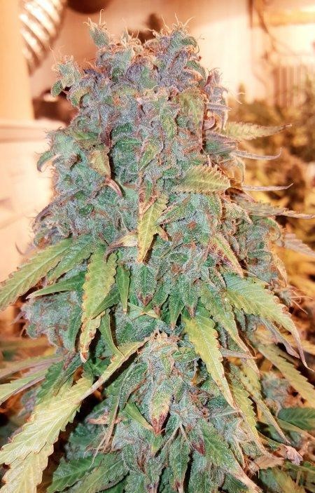 Think Big - fem. autoflowering semínka 3 ks Dutch Passion