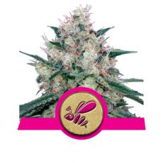 Honey Cream - feminizovaná semínka 3ks Royal Queen Seeds