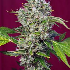 San Fernando Lemon Kush® - feminizovaná semínka 3 ks Sweet Seeds
