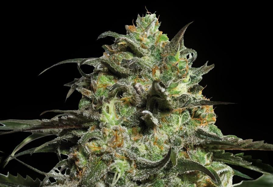 Peyote Cookie - feminizovaná semena 5 ks Barney´s Farm