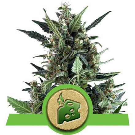 Blue Cheese - fem. a samonakvétací semínka 5ks Royal Queen Seeds