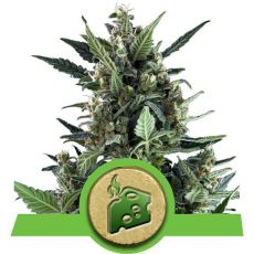 Blue Cheese - fem. a samonakvétací semínka 10ks Royal Queen Seeds