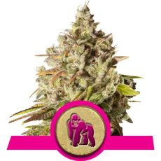 Royal Gorilla - feminizovaná semínka 3 ks Royal Queen Seeds