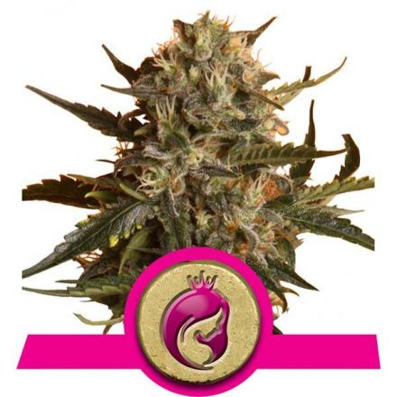 Royal Madre - feminizovaná semínka 3ks Royal Queen Seeds