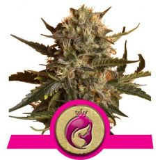 Royal Madre - feminizovaná semínka 5ks Royal Queen Seeds