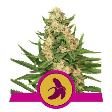 Royal Fat Banana - feminizovaná semínka 3 ks Royal Queen Seeds