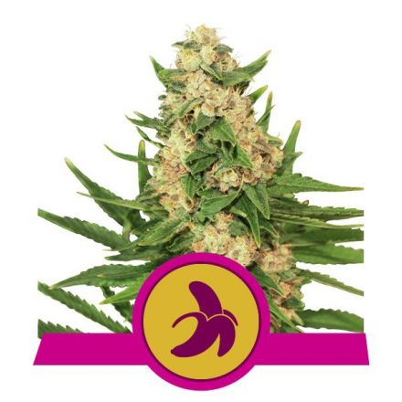 Royal Fat Banana - feminizovaná semienka 5 ks Royal Queen Seeds