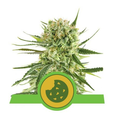 Royal Cookies - fem. a samonakvétací semínka 3ks Royal Queen Seeds