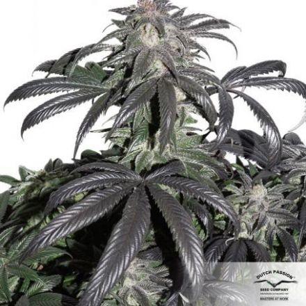 Bubba Island Kush® - feminizovaná semienka 3ks Dutch Passion