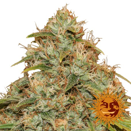 CBD Lemon Potion - 3ks autoflower semínka Barney´s Farms