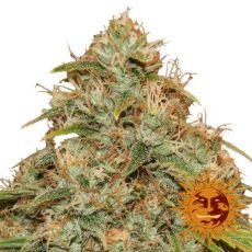 CBD Lemon Potion - 3ks autoflower semienka Barney's Farms