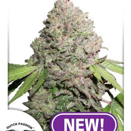 CBD Charlotte's Angel® - feminizovaná semínka 10ks Dutch Passion