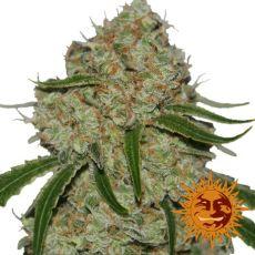 Phantom OG - feminizovaná semená 5 ks Barney's Farms