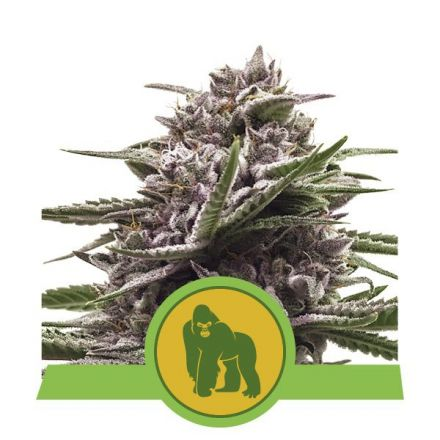 Royal Gorilla Automatic - fem. a samonakvétací semienka 3ks Royal Queen Seeds
