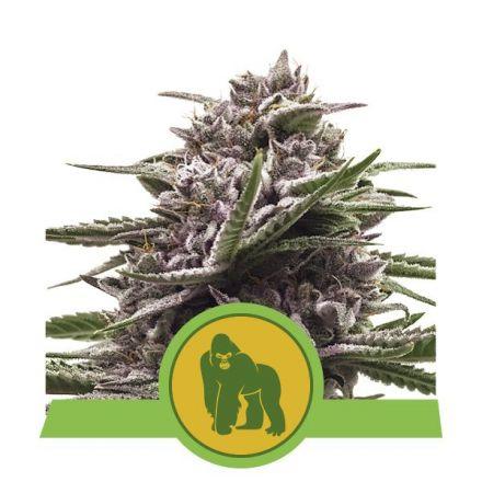 Royal Gorilla Automatic - fem. a samonakvétací semienka 5ks Royal Queen Seeds