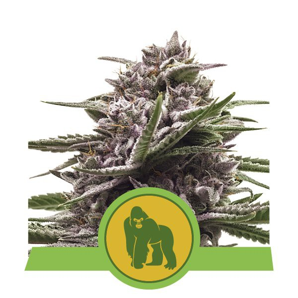 Royal Gorilla Automatic - fem. a samonakvétací semienka 5ks Royal Queen Seeds