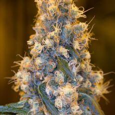 Blue Fire - feminizovaná semienka 5ks Humboldt
