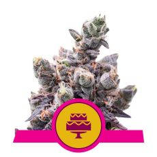 Wedding Gelato - feminizovaná semínka 3 ks Royal Queen Seeds