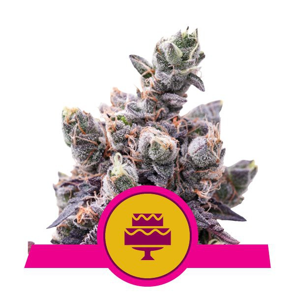 Wedding Gelato - feminizovaná semínka 5 ks Royal Queen Seeds