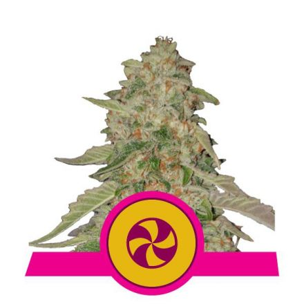Sweet ZZ - feminizovaná semínka 5 ks Royal Queen Seeds