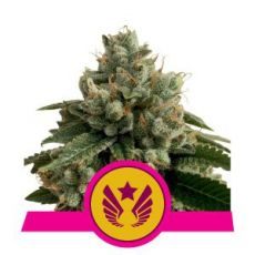 Legendary Punch - feminizovaná semínka 3 ks Royal Queen Seeds