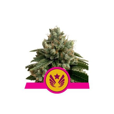 Legendary Punch - feminizovaná semienka 3 ks Royal Queen Seeds