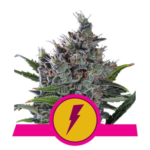 North Thunderfuck - feminizovaná semínka 10 ks Royal Queen Seeds