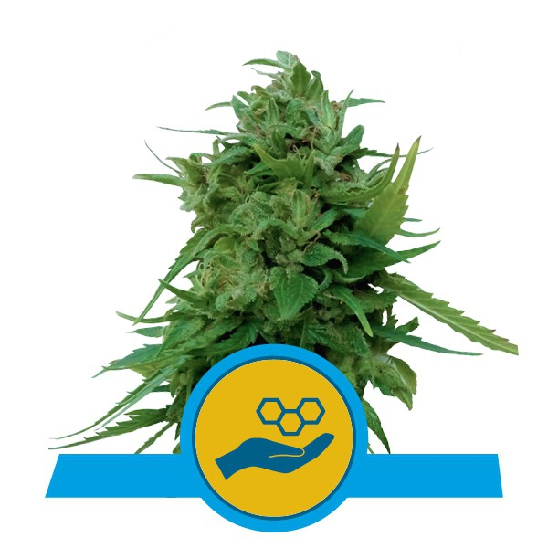 Solomatic CBD - feminizovaná a samonakvétací semienka 3 ks Royal Queen Seeds