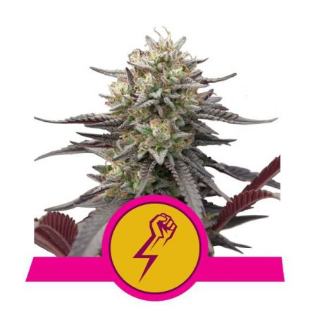 Green Punch - feminizovaná semínka 3 ks Royal Queen Seeds