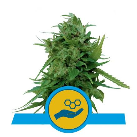 Solomatic CBD - feminizovaná a samonakvétací semienka 5 ks Royal Queen Seeds