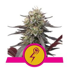 Green Punch - feminizovaná semínka 10 ks Royal Queen Seeds