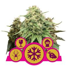 Feminized Mix - feminizovaná semínka 3 ks Royal Queen Seeds