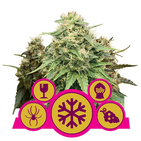 Feminized Mix - feminizovaná semienka 5 ks Royal Queen Seeds