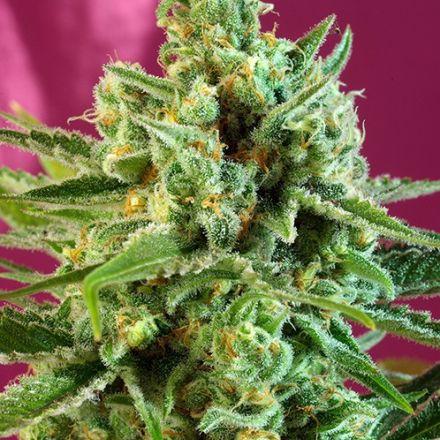 S.A.D CBD - feminizovaná semená 5ks Sweet Seeds