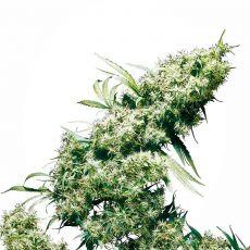 Jamaican Pearl - 10 ks feminizovaná semena Sensi Seeds
