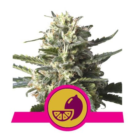 Lemon Shining Silver Haze - feminizovaná semínka 5ks Royal Queen Seeds
