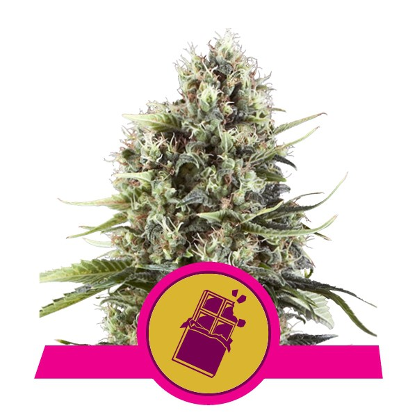 Chocolate Haze - feminizovaná semínka 3 ks Royal Queen Seeds