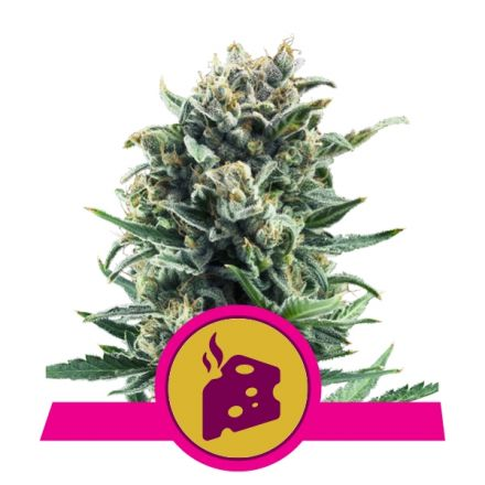 Blue Cheese - feminizovaná semínka 3 ks Royal Queen Seeds