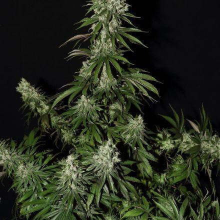 White Strawberry Skunk - 3ks feminizovaná semienka Strain Hunters